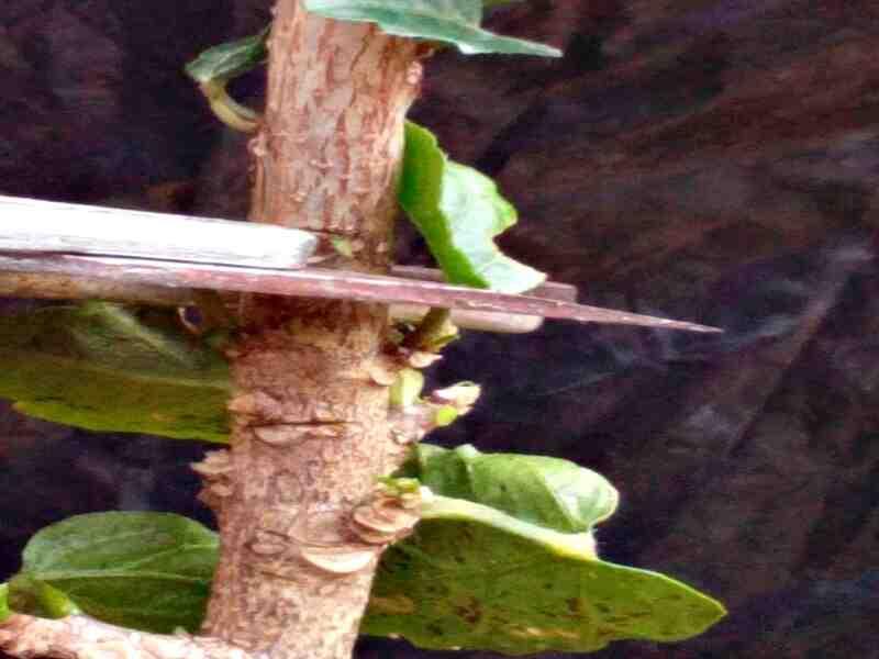 ¿Cómo proteger los Hibiscus en invierno?