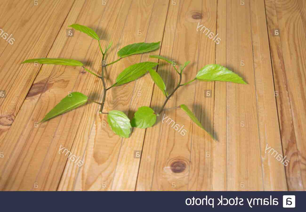 ¿Cómo se hace una planta de hibisco?