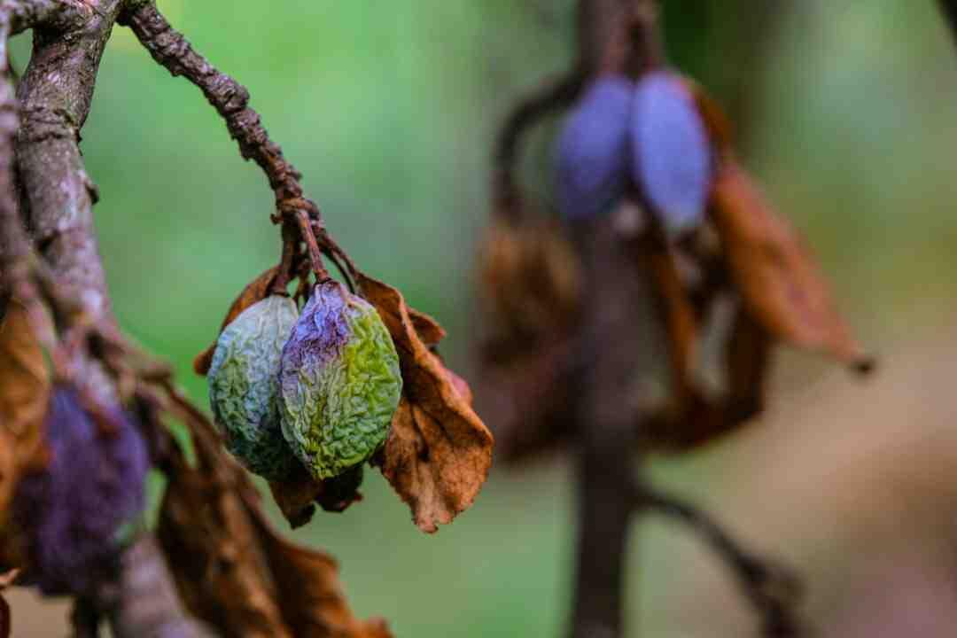 ¿Qué hacer cuando las flores de los geranios se secan?