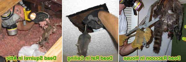 Como Eliminar o Odor de um Animal Morto
