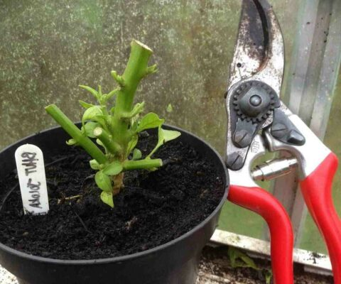 Como Podar Plantas de Pimenta